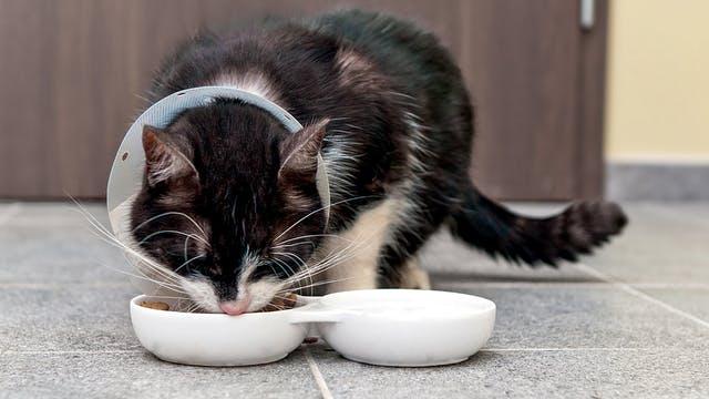 chat mange avec un collerette
