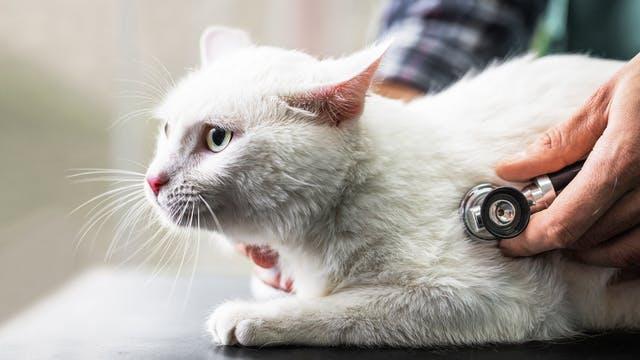 chat examiné