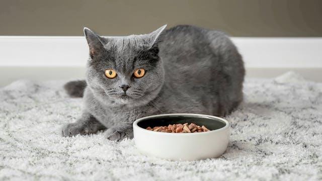 grijze kat zit