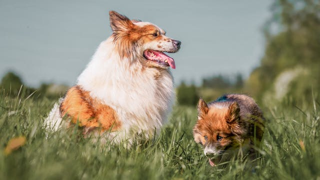 2 chiens dans un champ