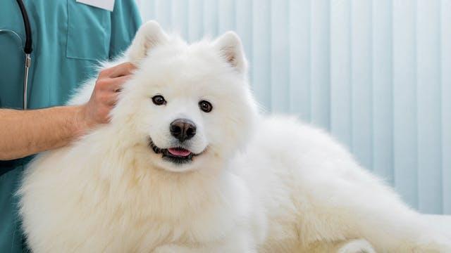 chien blanc